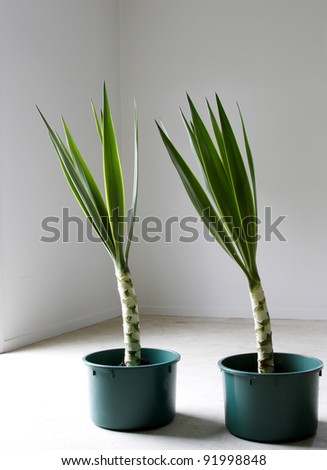 Two Yucca plants in pots - stock photo
