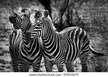 Two zebra animal in close up in the wild - stock photo
