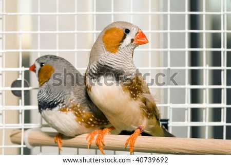 Two Zebra finches sitting on a perch in a cage. - stock photo