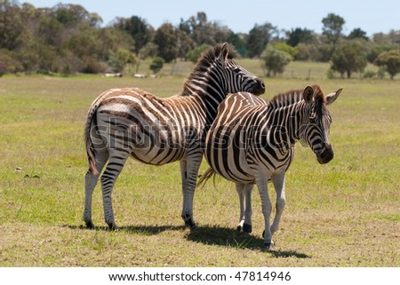 Two zebra interacting with each other in a South African game reserve - stock photo