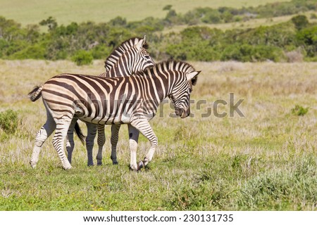Two zebra playing and walking together in short grass - stock photo