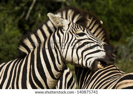 Two zebra standing and chewing on each others skin