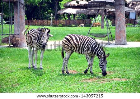 two zebras - stock photo