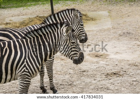 Two zebras - stock photo