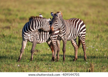 Two Zebras create perfect symmetry and harmony while playing, heads together.  - stock photo