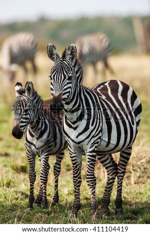 Two Zebras create perfect symmetry and harmony while playing, heads together - stock photo