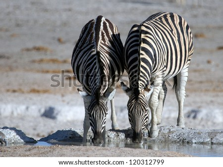 Two Zebras drinking at a waterhole on a salt pan in Namibia - stock photo