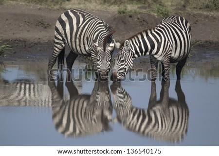 Two zebras drinking mirroring themselves in water - stock photo