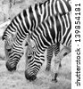 Two zebras eating grass in a zoo. - stock photo
