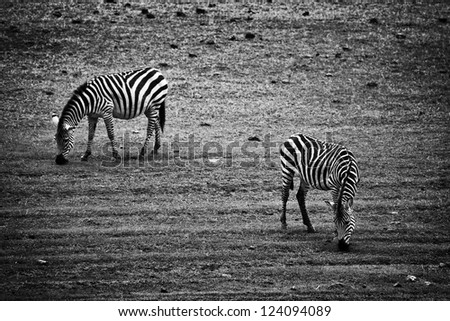 Two zebras eating. Tanzania, Africa in black and white