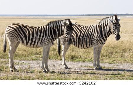 Two Zebras, Etosha National Park, Namibia, Africa - stock photo