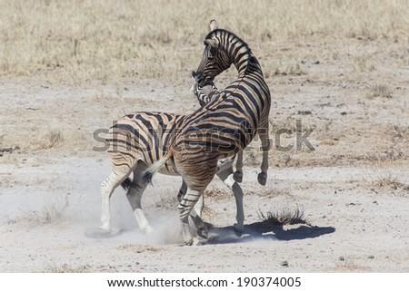 Two Zebras Fighting in Etosha National Park, Namibia, Africa - stock photo