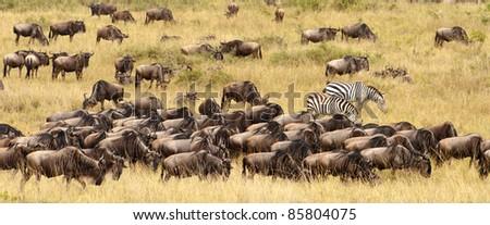 Two zebras graze among a wildebeest herd - stock photo