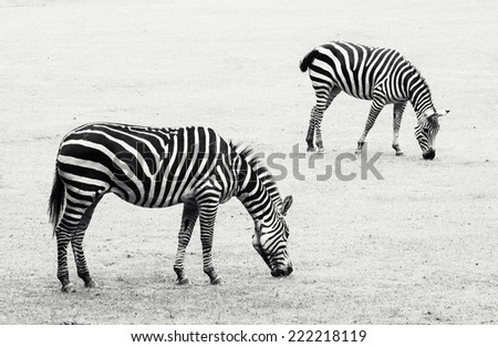 Two zebras grazing in the meadow. Black and white photo. - stock photo