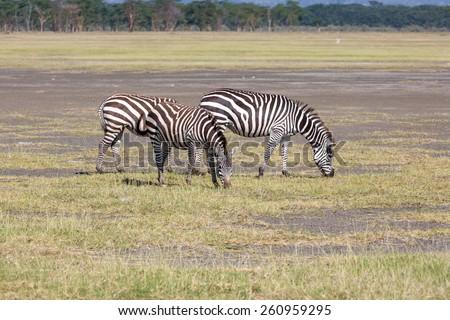 two zebras in the grasslands, Africa. Kenya - stock photo