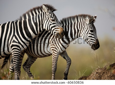 Two zebras. Masai Mara. Kenya - stock photo