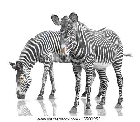 two zebras on a white background. isolated - stock photo