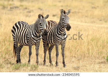 Two zebras on the Masai Mara National Reserve safari in southwestern Kenya. - stock photo