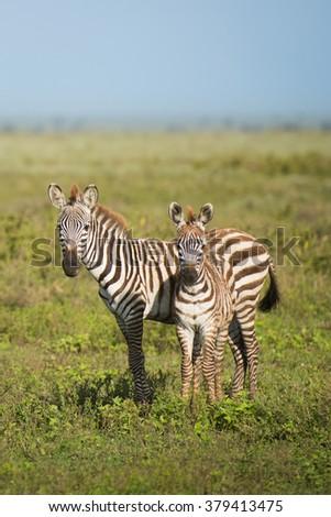 Two Zebras on the Serengeti - stock photo
