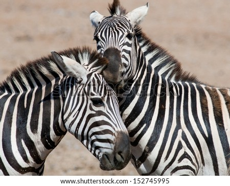 Two zebras playing on a sunny day