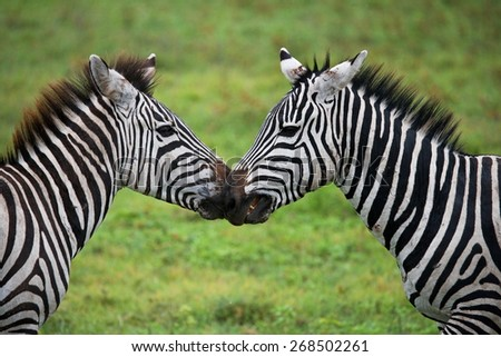 Two zebras playing with each other. Tanzania. Africa. An excellent illustration. - stock photo