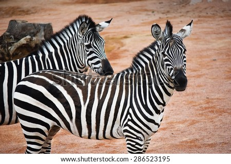 Two zebras standing in profile, one looking right, one looking into the camera, in the African savannah - stock photo
