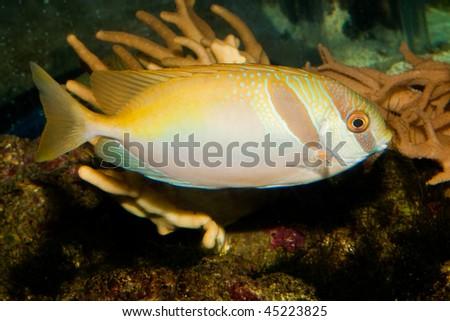 Twoa Barred Rabbitfish (Siganus virgatus) in Aquarium - stock photo