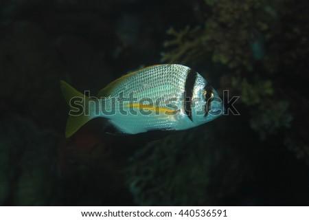 Twobar seabream fish (Acanthopagrus bifasciatus) in the tropical reef of the red sea  - stock photo