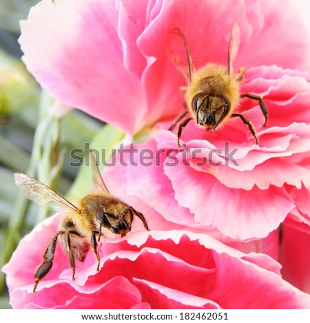 TwoYellow Honey Bees on a Pink Flower - stock photo