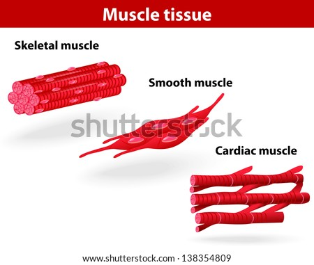 Types of muscle tissue. Skeletal muscle, smooth muscle, cardiac muscle. scheme  - stock photo