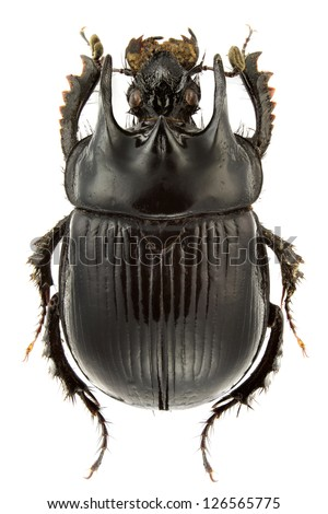 Typhaeus typhoeus (dung beetle) isolated on a white background. - stock photo