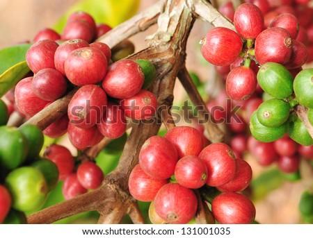 Typica coffee berries. - stock photo