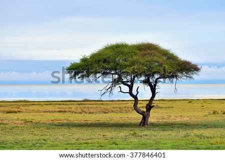 Typical african landscape. Etosha national park at sunrise time. Big solitary umbrella acacia tree and Etosha pan (lake) on background - stock photo