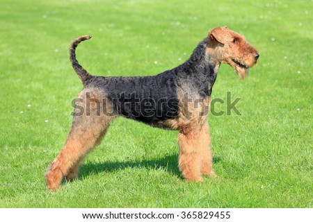 Typical Airedale Terrier on a green grass lawn - stock photo