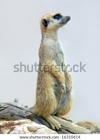 Typical alert meerkat pose - stock photo