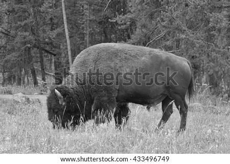 Typical American Bison on the pasture in Grand Teton National Park - Black and White Photo - stock photo