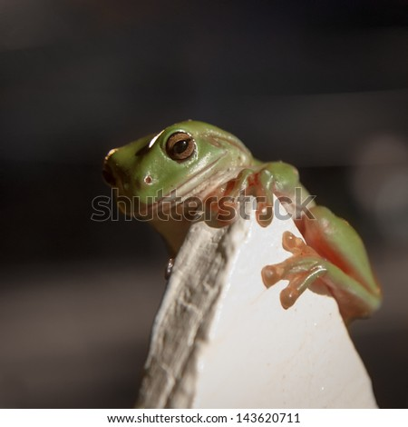 Typical Australian urban wildlife, a green tree frog clings to a cream fencepost