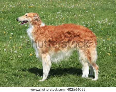 Typical  Borzoi â?? Russian hunting Sighthound in the spring garden - stock photo