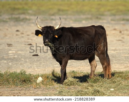 Typical cow in the meadow, Camargue, France - stock photo