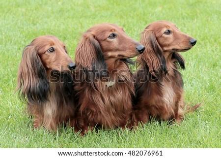 Red dachshund long hair