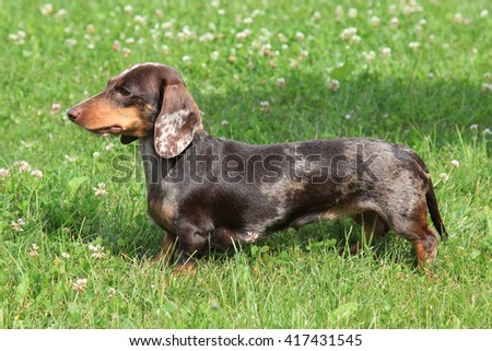 Typical  Dachshund Smooth-haired (colour Tiger-brindle) in the spring garden - stock photo
