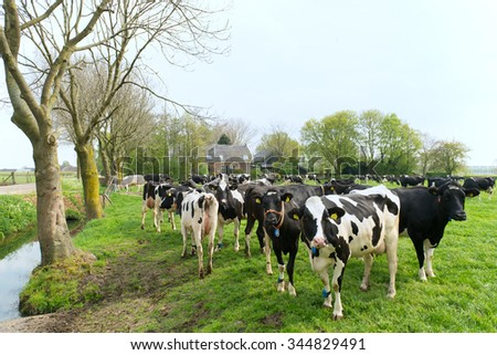 Typical Dutch cows in landscape with farm house - stock photo