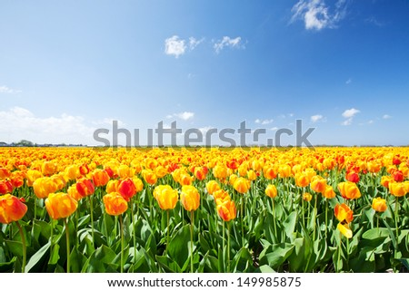 Typical Dutch field with yellow and red tulips and blue sky in the Netherlands.