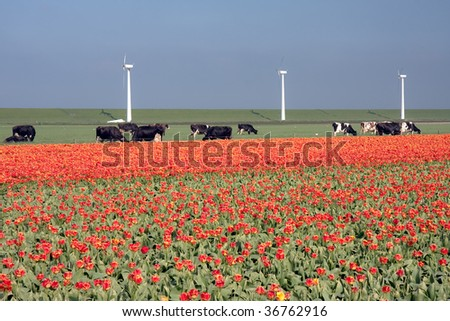 Typical Dutch landscape: a dike with windmills, cows and tulips