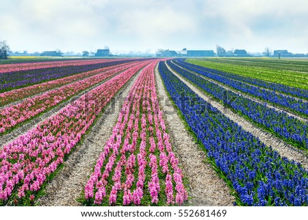 Typical Dutch spring flower panorama with colorful rows of Hyacinth at the field in Holland