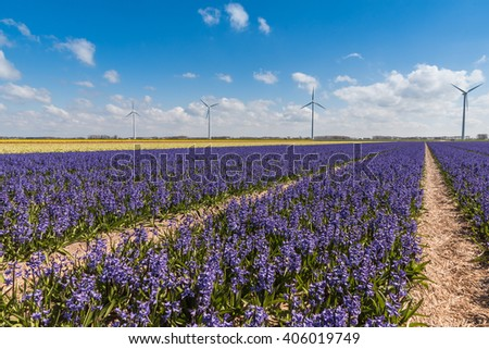 Typical Dutch spring time scene colourful Hyacinths in a field with a wind turbine in the background generating green energy / Flower power - stock photo