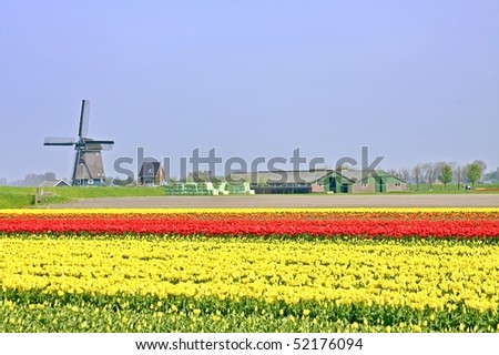 Typical dutch: Windmill, tulipfields and farmershouses in the Netherlands