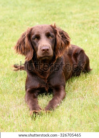 Typical German Spaniel - Deutscher Wachtelhund - on a green grass lawn