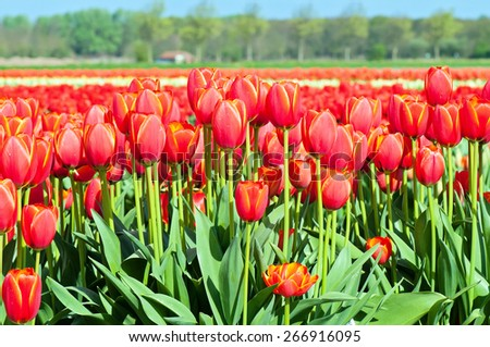 Typical gigant red tulips field in Holland, blue sky - stock photo