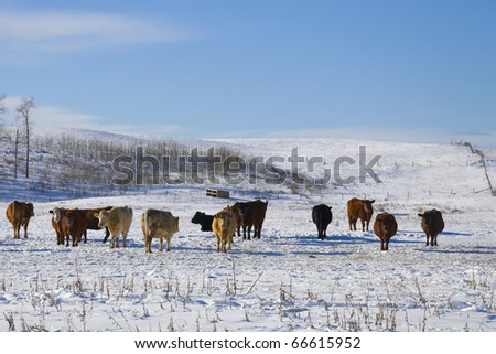 Typical herd of cattle enjoying the sunny day during a typical Canadian winter - stock photo